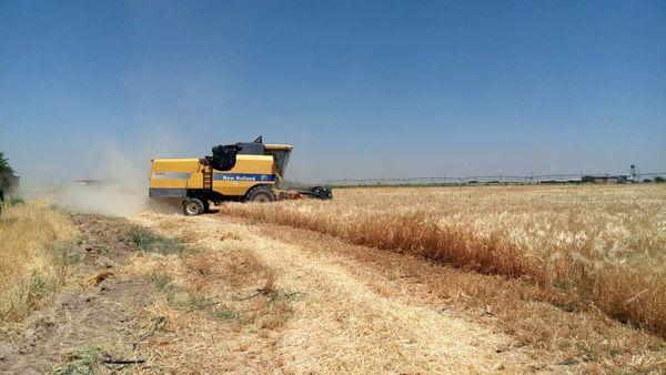 عملیات کیل گیری جو آبی از مزارع کشاورزی شهرستان البرز انجام شد
