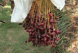 عرضه مستقیم خرمای فهرج در نمایشگاه دائمی تک محصولی خرما