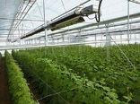 مجوز احداث ۳۳۰ هکتار گلخانه در سقز صادر شد