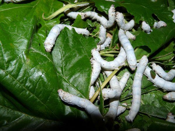 قزوین پتانسیل زیادی برای پرورش کرم ابریشم دارد