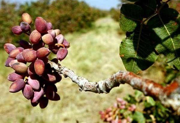 تبدیل چهار هزار هکتار از اراضی کشاورزی آران و بیدگل به باغهای پسته