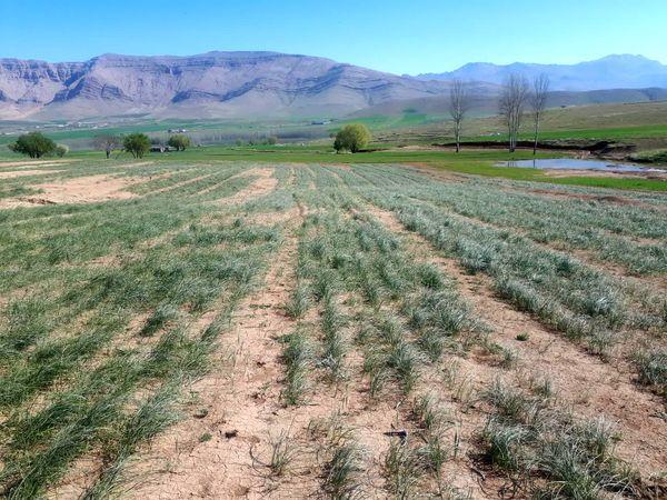 توسعه کشت زعفران و گیاهان دارویی در کیار