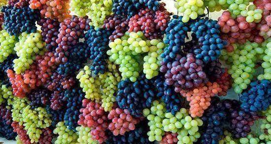 تولید بیش از 50نوع انگور در کردستان