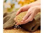 تولید 1600 تنی بذر برنج در مازندران