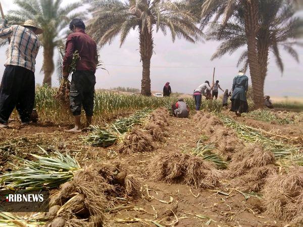 کشت سیر در استان کرمان یکی از برنامههای الگوی کشت است