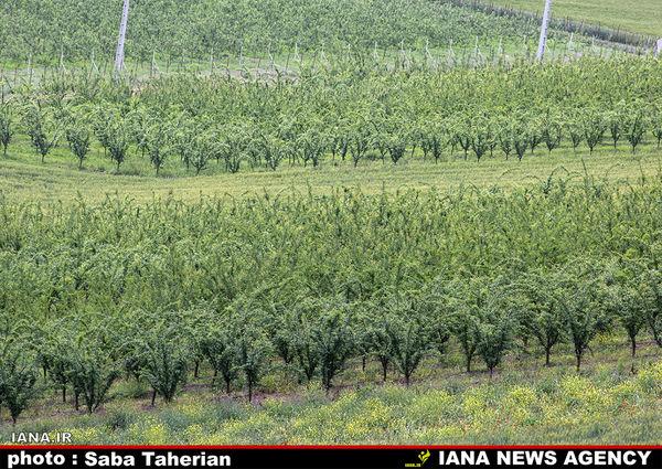 11.6 میلیون تن محصول باغی تولید شد