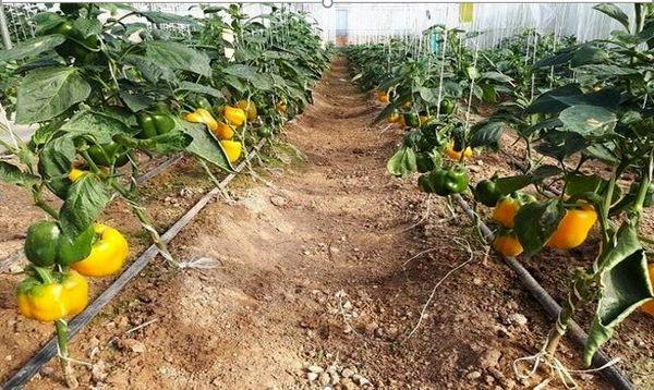 گلخانه داران با انگیزه صادراتی وارد کار شوند
