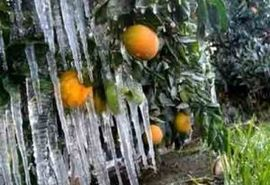 خسارت 9800 میلیارد ریالی سرما به کشاورزی فارس