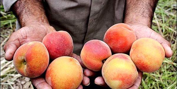 450 هکتار از اراضی میشخاص زیر کشت محصولات باغی