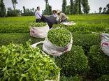 افزایش 14 درصدی خرید برگ سبز چای  تا نیمه تیرماه