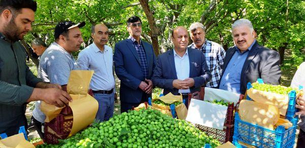 افزایش دو برابری تولید گوجه سبز در شهرستان شهریار