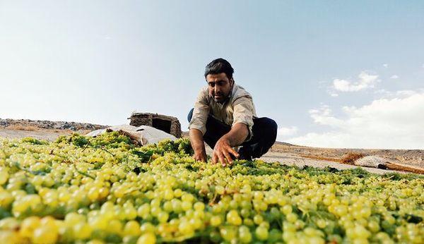 برداشت ۷۰ هزارتن انگور در اصفهان پیشبینی میشود