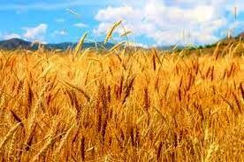 خرید تضمینی ۲۹۷ تن گندم در خراسان شمالی