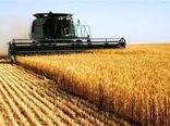 کشت ۱۴ رقم گندم در پروژه نظامهای زراعی گندم بنیان  شهرستان آوج اجرا شد