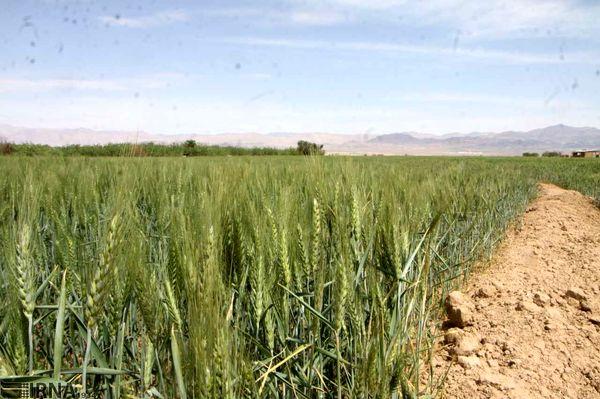 راندمان تولید در دیمزارهای خراسان شمالی پایین است