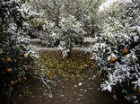 سرما به ۷۷ درصد محصولات باغی استان قزوین خسارت زد