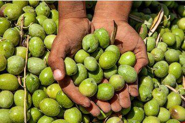 برداشت زیتون سبز (کنسروی) در باغات زیتون استان قزوین آغاز شد