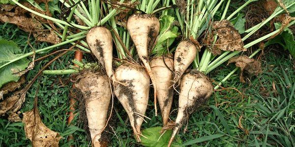 کاشت چغندرقند پاییزه در بهرهوری آب، تداوم تولید و اشتغال مؤثر است