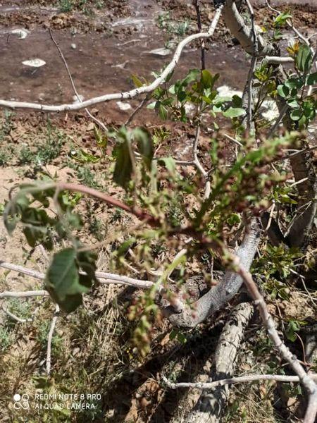 سرمازدگی ناگهانی فروردین ماه به 80 درصد باغات پسته شهرستان شهربابک خسارت وارد کرد