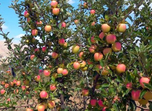 اهر سومین شهرستان تولیدکننده سیب در آذربایجان شرقی