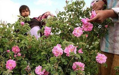 ۵ تن گل محمدی از گلستانهای رفسنجان در سال جاری