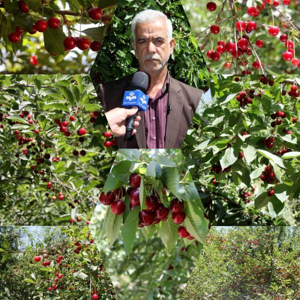 تولید بالغ بر 7 هزار و 800 تن گیلاس و آلبالو در استان لرستان