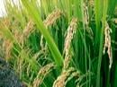 ظهور اولین خوشههای برنج در جویبار