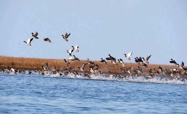 اجرای دستورالعمل مقابله با آنفلوانزا در مورد پرندگان مهاجر