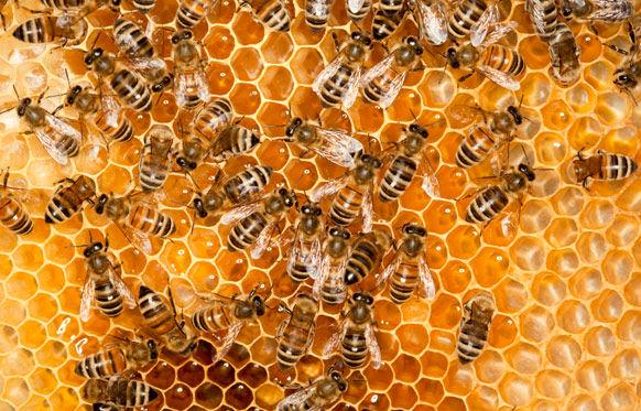 ایستگاههای تولید ملکه زنبور عسل در استان بوشهر افزایش مییابد