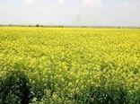تاکنون ۱۵۰ تُن دانه روغنی کلزا در خراسان شمالی خریداری شد