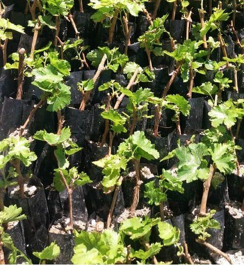 کاشت یک رقم جدید انگور برای اولین بار در خرامه