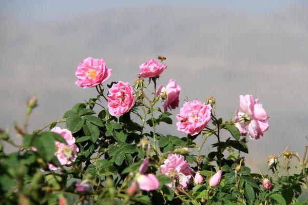 برداشت گل محمدی از گلستان های شهرستان بن آغاز شد