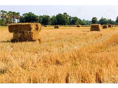 تولید 48 هزار تنی کاه برنج در بهشهر/ درآمد 75 میلیونی در هر هکتار