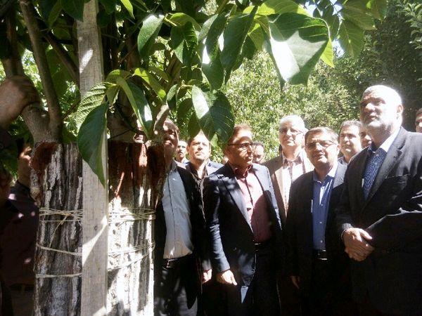 وزیر جهاد کشاورزی از طرح سرشاخه کاری درختان گردو در تویسرکان بازدید کرد