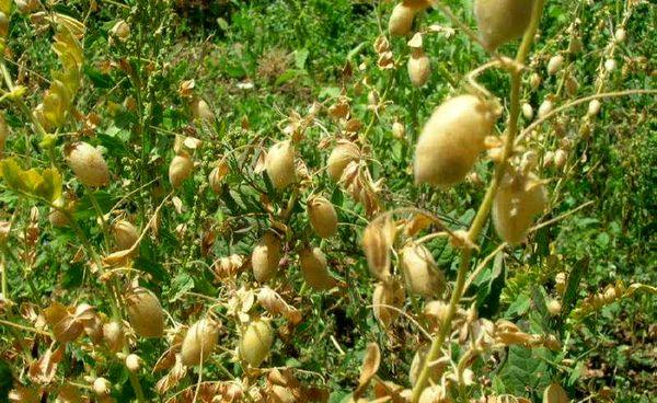 پیشبینی برداشت ۲۵۰ تن نخود از مزارع خراسان جنوبی