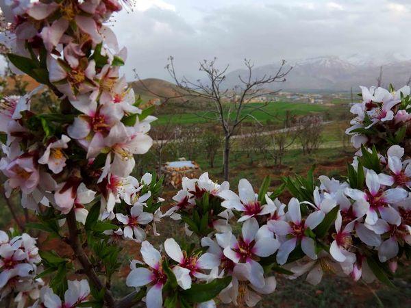 خطر سرمازدگی شکوفههای بادام شهرستان سامان