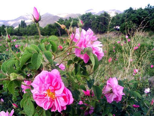 برداشت 220 تن گلمحمدی از گلستانهای شهرستان میانه