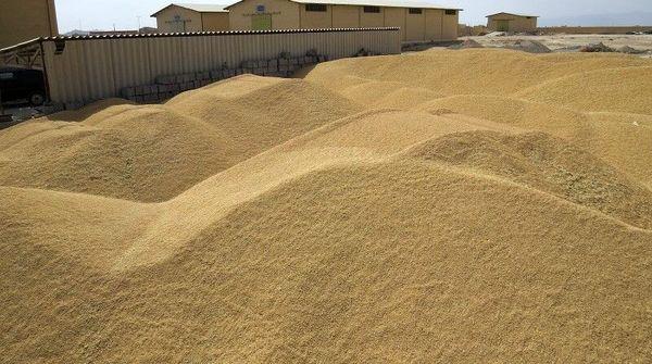تولید ۳۶ هزار تن گندم در یزد