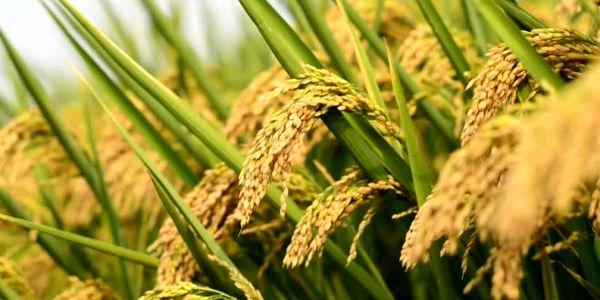 گردش مالی 20 هزار میلیارد تومانی برنج در مازندران