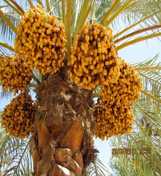 استان خوزستان مقام سوم تولید خرمای کشور را به خود اختصاص داده است