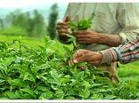 خرید تضمینی 62 هزار تن برگ سبز چای از چایکاران