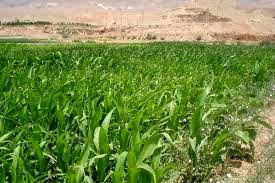 کشت ذرت علوفه ای در بالغ بر 9 هزارهکتار از مزارع شهرستان ری