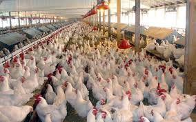 فرصت استثنائی صدور مجوز پرورش مرغداری گوشتی در شهرستان کرمان