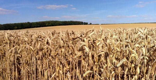 گندم در بریتانیا گران میشود