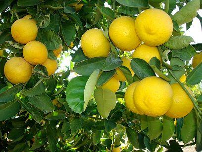 رتبه برتر استانی جهرم در تولید لیموشیرین
