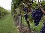 باغهای انگور سردشت داربستی میشوند