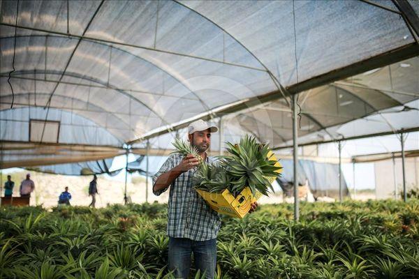 صدور مجوز کشت گلخانهای آناناس