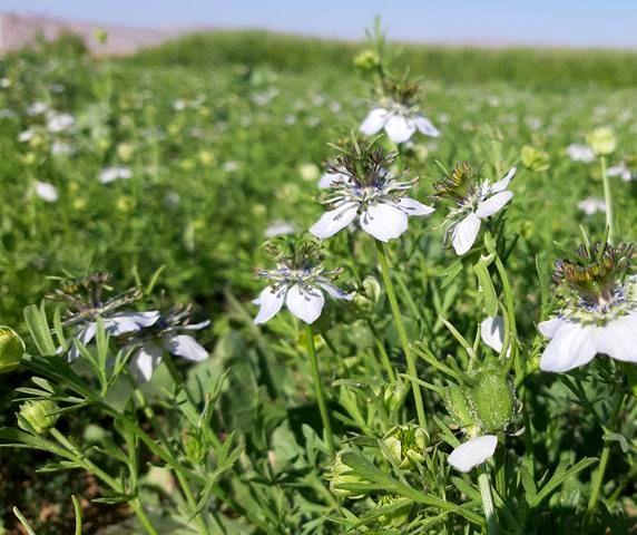 سطح زیر کشت گیاهان دارویی در شهرستان شهرکرد به ۶۳ هکتار رسید