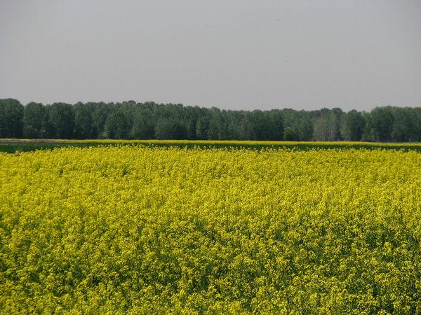 برداشت کلزا از 1300 هکتار از مزارع کشاورزی  شهرستان البرز آغاز شد