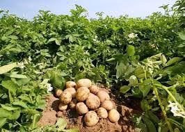 برداشت سیب زمینی در شهرستان ارزوئیه